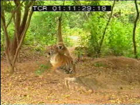 monkey teasing a tiger