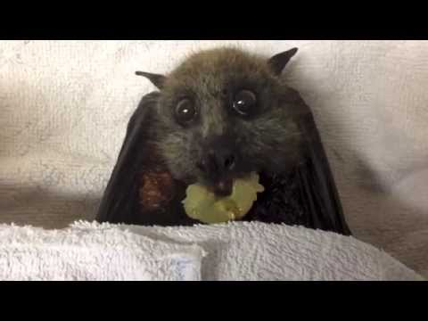 Flying-Fox (bat) eats grapes