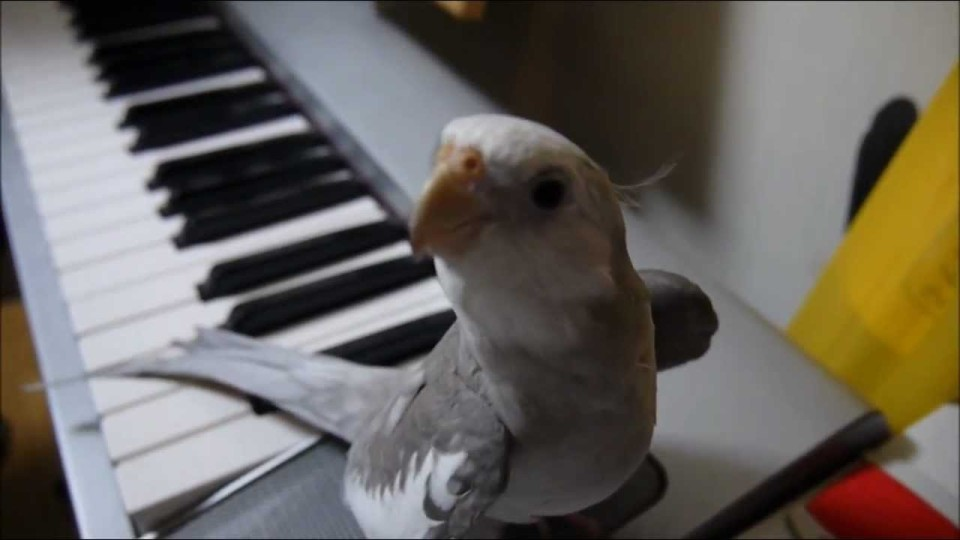 singing cockatiel
