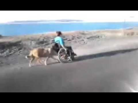Dog pushes owner on wheel chair.