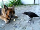A Crow, Dog and Human Play Ball.